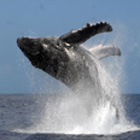 Dr. Michael Poole`s Dolphin & Whale Watching Expedition